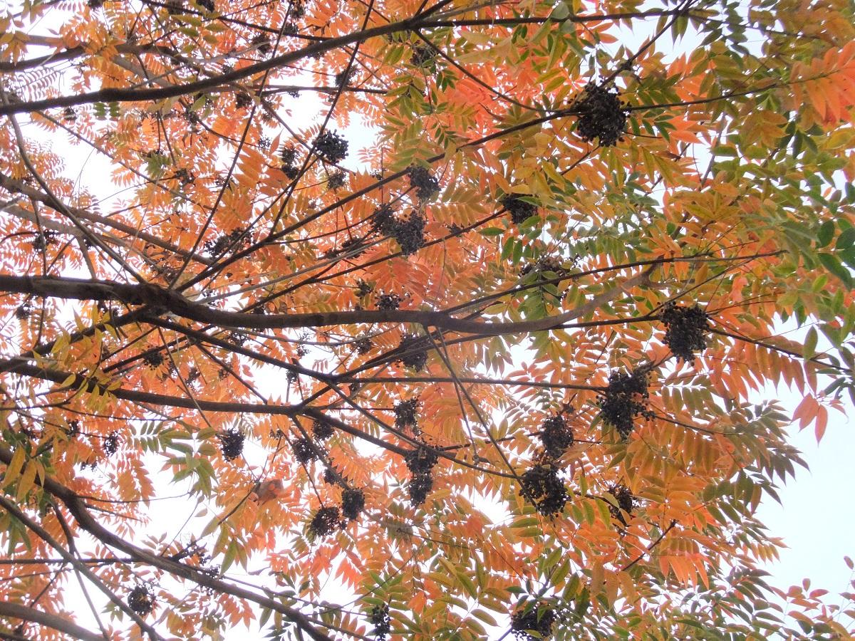 ハゼ の 木 かぶれ